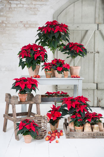 stars for europe stelle natale poinsettie 01