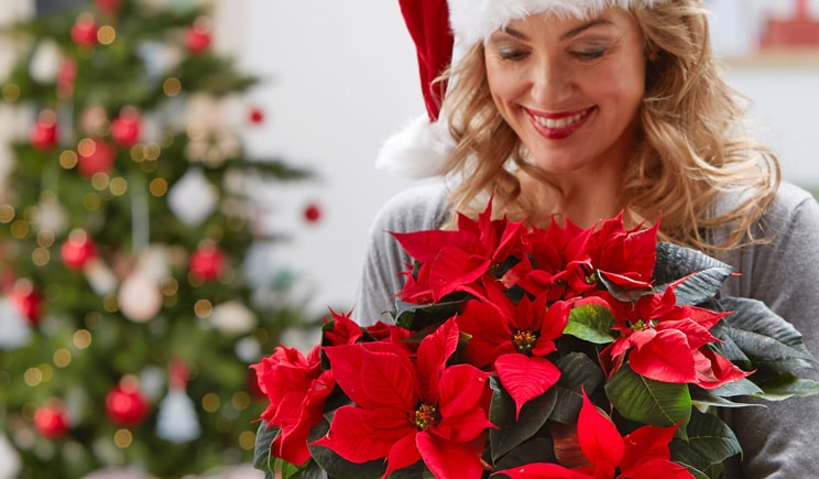 poinsettia 00 confezioni stelle natale 2017 Weihnachtsstern People Foto copyright stars for europe min
