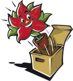 poinsettia box spifferi stelle natale 2017 Weihnachtsstern People Foto copyright stars for europe min