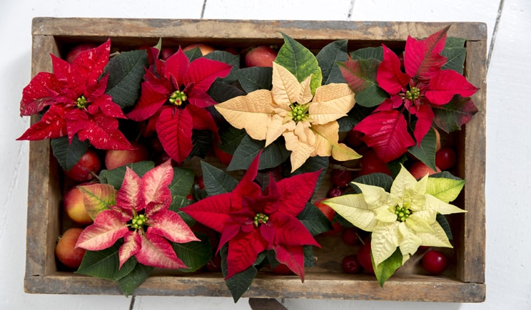poinsettia stelle natale 2017 Weihnachtsstern People Foto copyright stars for europe min