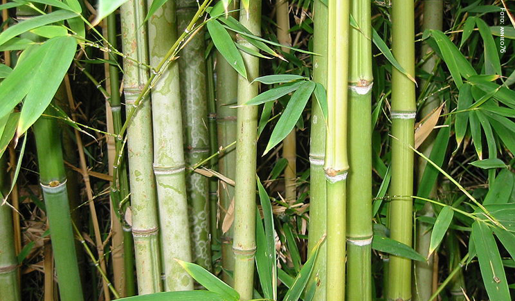bamboo foto coyright annieo76