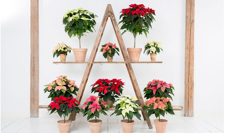 stars for europe stelle natale poinsettie 02