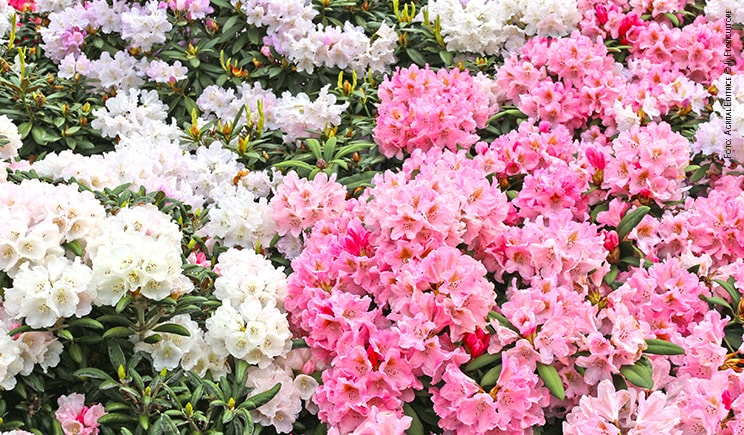 rhododendron foto copyright agrital editrice min