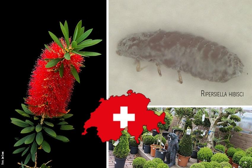 Svizzera, è allarme per insetto nocivo non ancora documentato in Europa