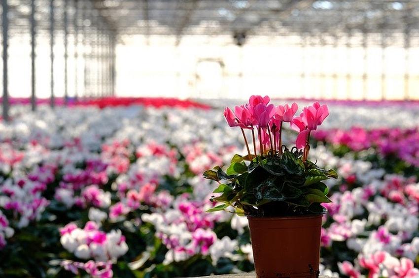 La Floricoltura Billo si dà ai ciclamini