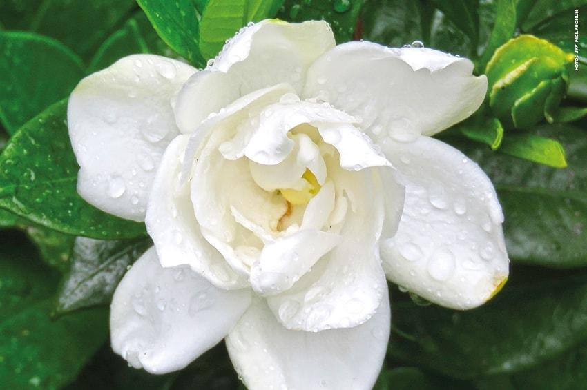 Sequenziato il genoma della Gardenia per la ricerca farmacologica
