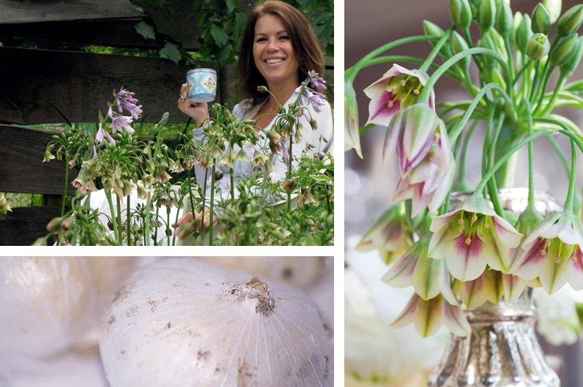 Nectaroscordum siculum, una bulbosa insolita e preziosa da proporre per la messa a dimora